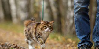 Wyprowadzanie kota na smyczy