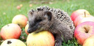 Jeż w jabłkach