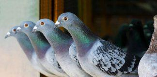 Odrobaczanie gołębi